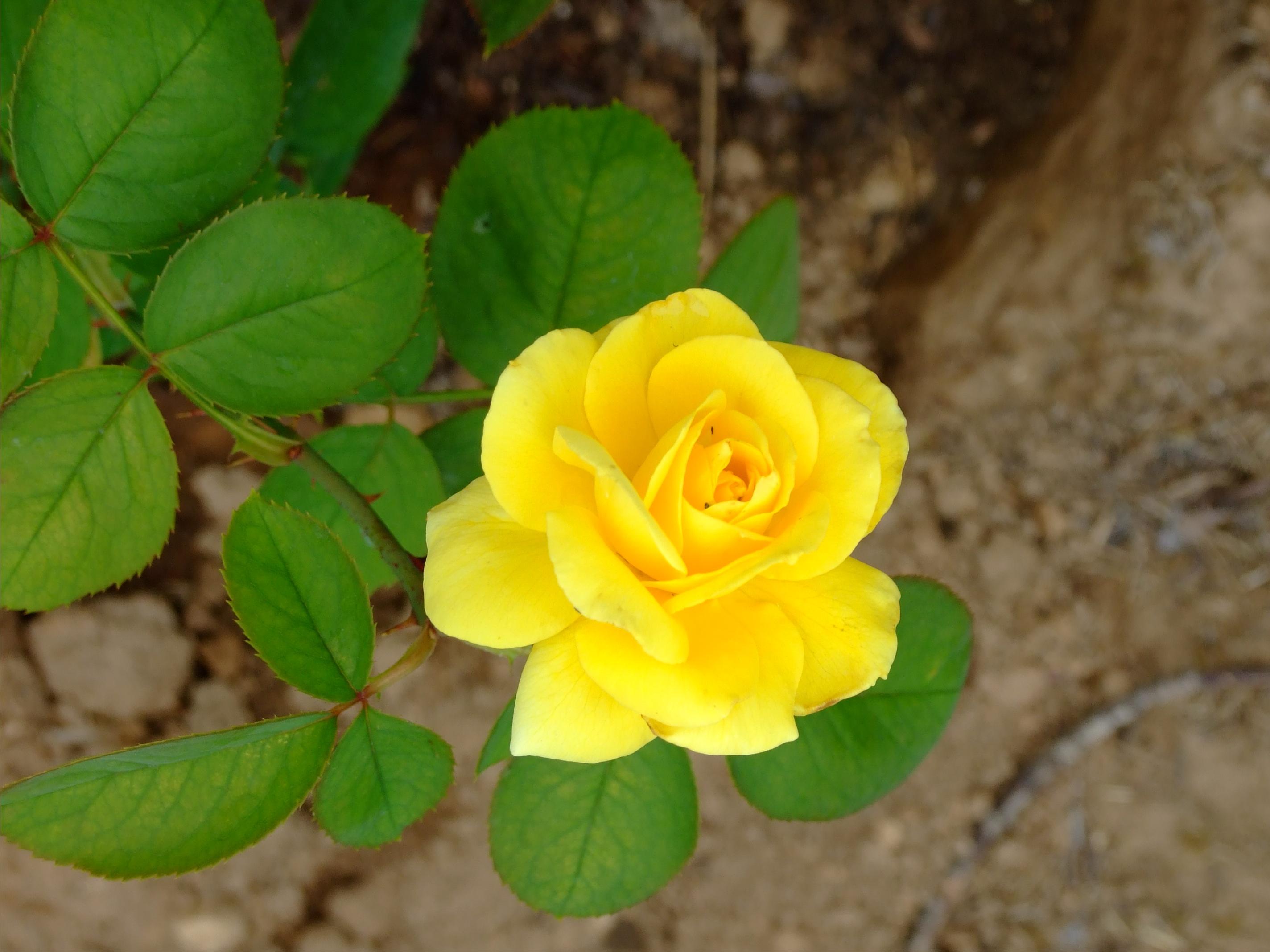 English rose garden wallpaper - Beautiful Yellow Rose Gardens Picture Of The Yellow Rose