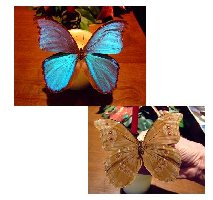 morpho butterfly front and back